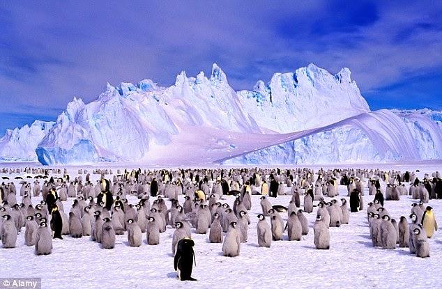 hurtigruten-penguins